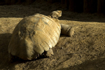 Spurred Tortoise, stock photo
