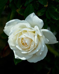 White Rose, stock photo
