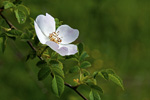 Country Rose, stock photo