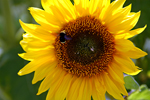 Sunflower Visit, stock photo