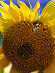 Sunflower Heart, stock photo