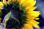 Sunflower, stock photo