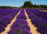 Lavender Rows, stock photo