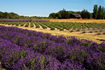 Lavender Farm, stock photo