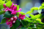 Bougainvillea, stock photo