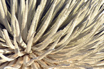 Silversword, stock photo