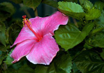 Hibiscus, stock photo