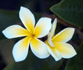 Plumeria, stock photo