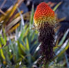 Red Hot Poker, stock photo
